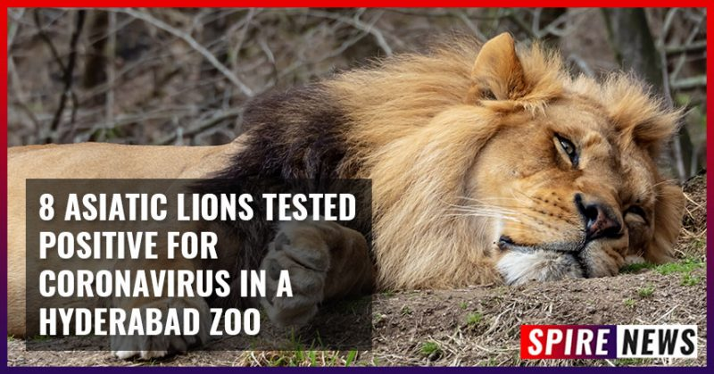 8 Asiatic Lions tested positive for coronavirus in a Hyderabad Zoo